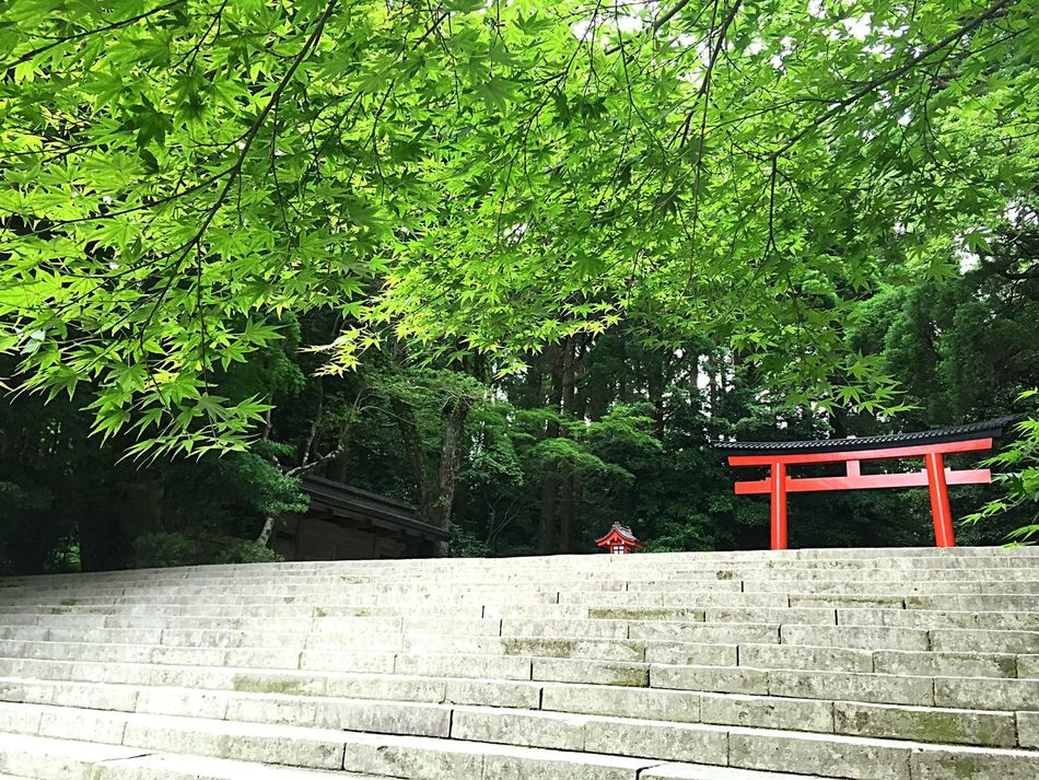 霧島神宮 霧島 鳥居 階段 Shrine Kirishimashrine Kirishima Steps Stairs Japanesemaple Maple もみじ 椛 新緑