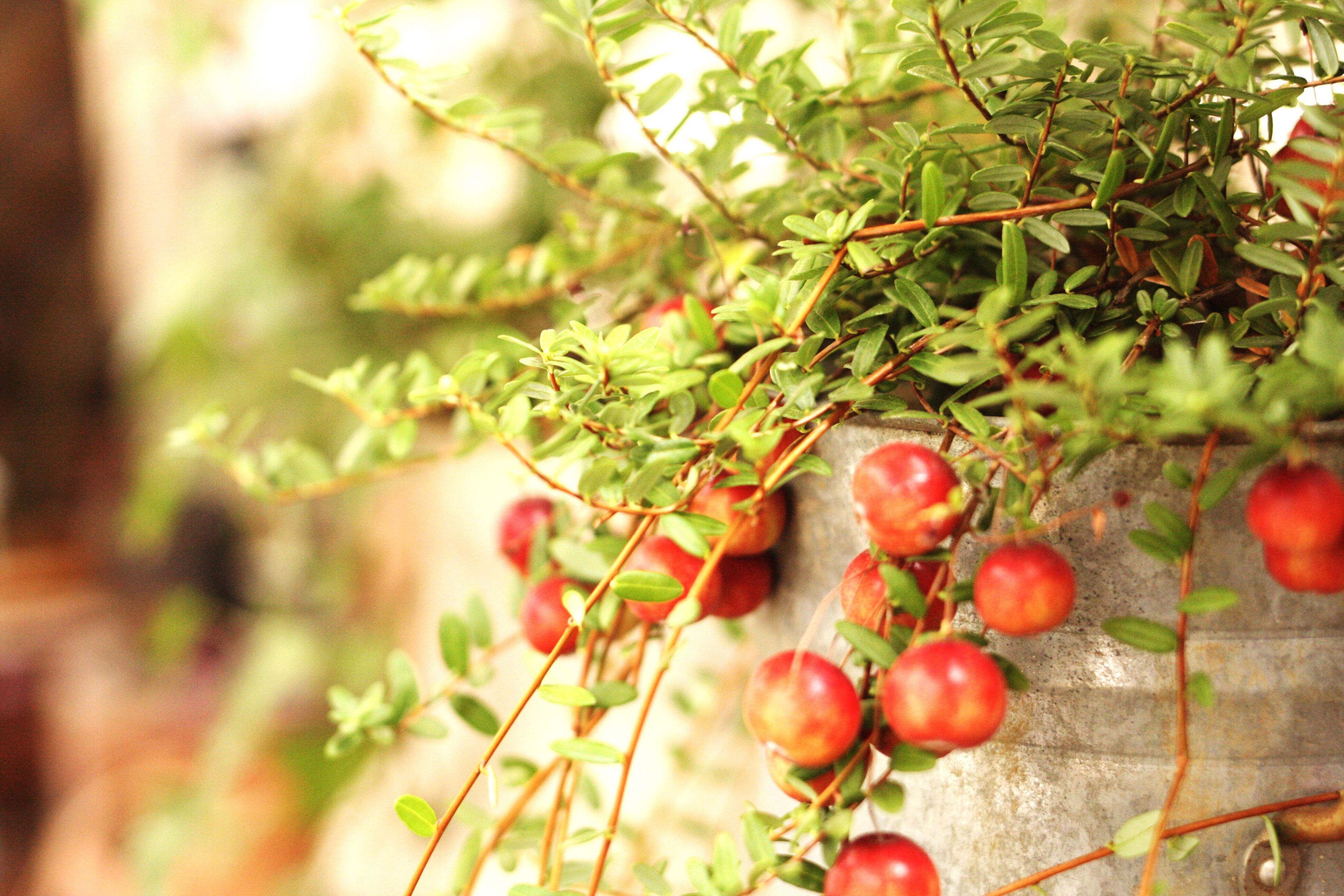 fruit, food and drink, food, healthy eating, growth, freshness, red, leaf, close-up, focus on foreground, branch, ripe, tree, nature, plant, growing, stem, berry fruit, selective focus, day