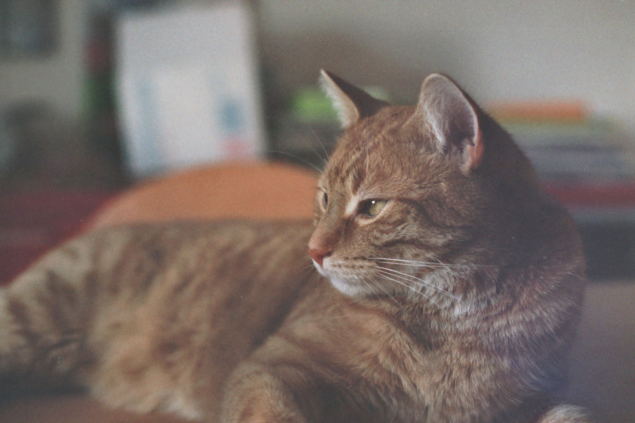 Lookin cool. 😉 Pets One Animal Cat Close-up Looking Away Indoors  Relaxation Resting Selective Focus Animal Head  Animal Cats 🐱 Catlovers Caturday Check This Out Canonae1 Hanging Out Taking Photos Analogphotography 35mm Film Analog Camera Analog Portrait Photography
