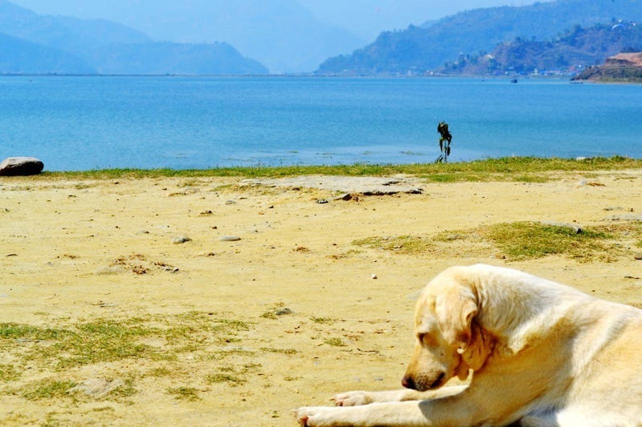 Dog Sleep Beach One Animal Nature Phewa Lake Pokhara!