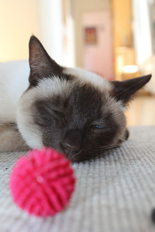 Animal Head  At Home Cat Cat Eyes Cat Playing Cats Close-up Domestic Animals Domestic Cat Focus On Background Front View Indoors  No People Nofilter One Animal Pets Relaxation Resting Siam Siamcat Siamese Siamese Cat Siamesecat Siamesecats Surface Level