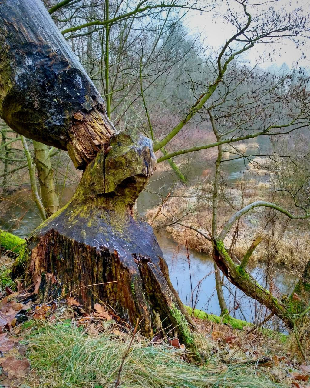 tree, nature, day, forest, outdoors, no people, beauty in nature, water, tree trunk, tranquility, scenics, branch, growth, grass, dead tree