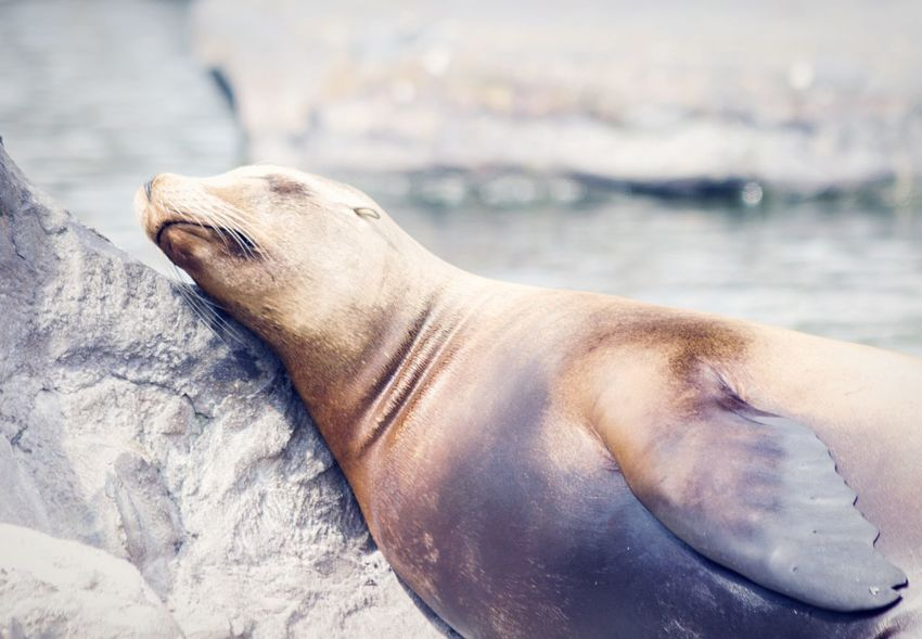 •just five more minutes....• Sea Lions Zoo Animals Tadaa Community Sleepy Sleeping Hanging Out Comfortable