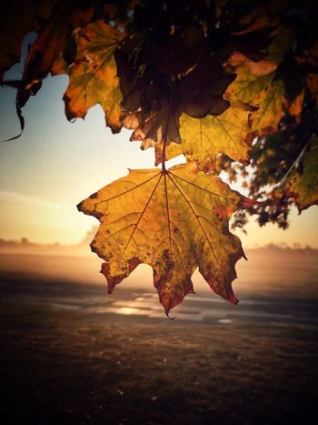 Leaf Autumn Maple Leaf Nature Maple Outdoors Orange Color Beauty In Nature Day Landscape No People Sunset