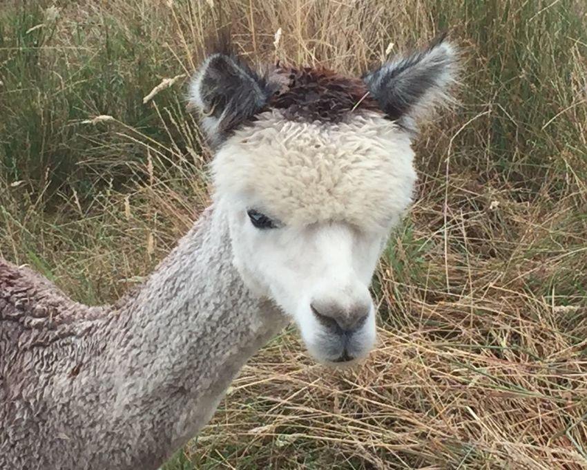 Alpaca One Animal Portrait Animal Themes Livestock Grass Alpaca Close-up Outdoors Animal Head  Haylilla Alpacas