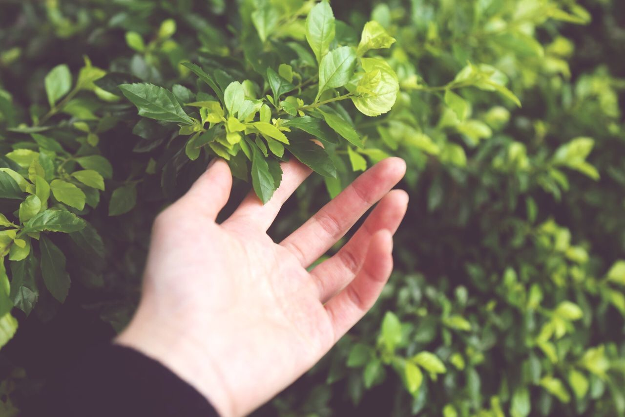 human hand, human body part, leaf, one person, human finger, plant, growth, real people, green color, focus on foreground, holding, outdoors, close-up, lifestyles, nature, day, fragility, freshness, people