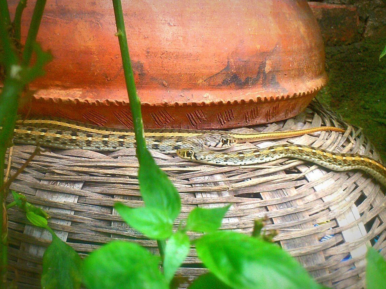 Nature On Your Doorstep Dual Snakes Nature Photography taken at Darbhanga District in Bihar, India