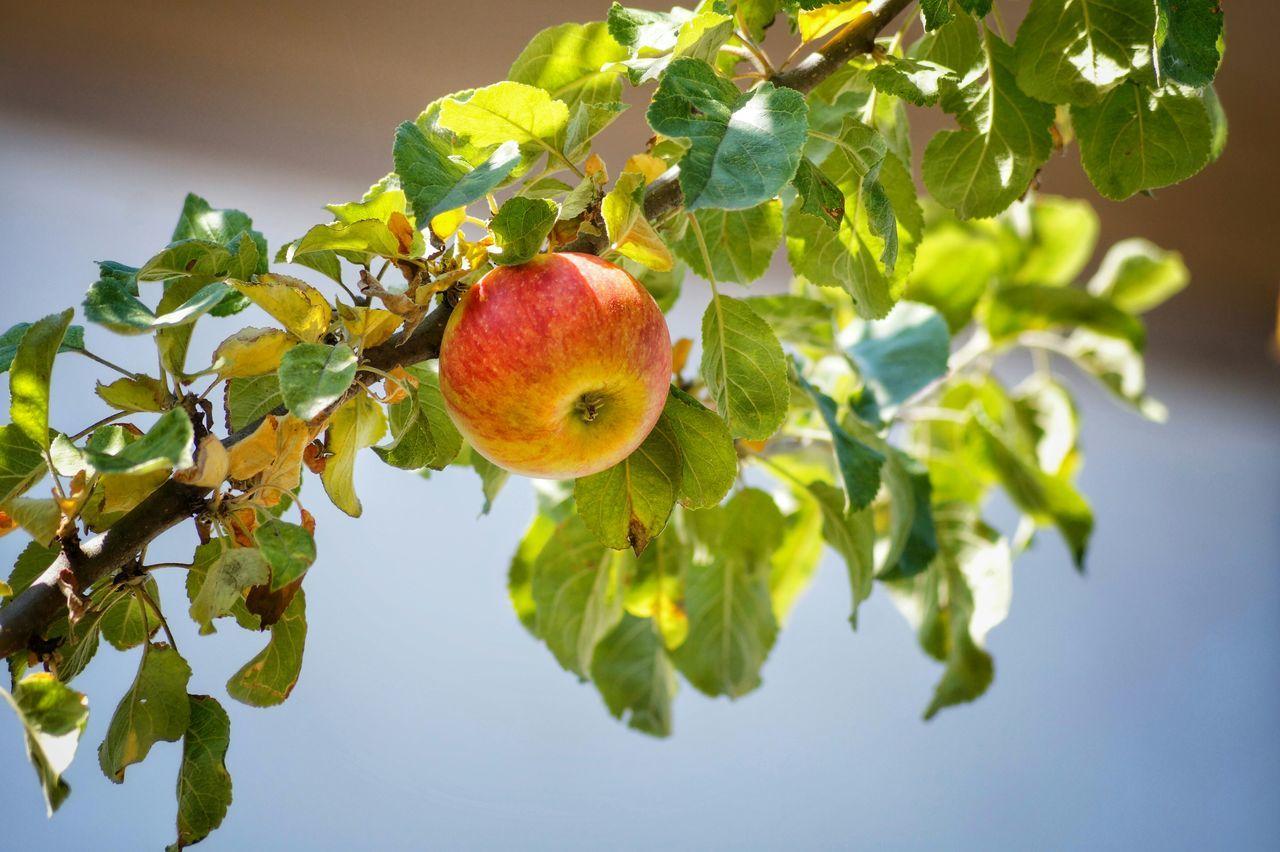 Beautiful stock photos of apple, Apple, Apple Tree, Branch, Day