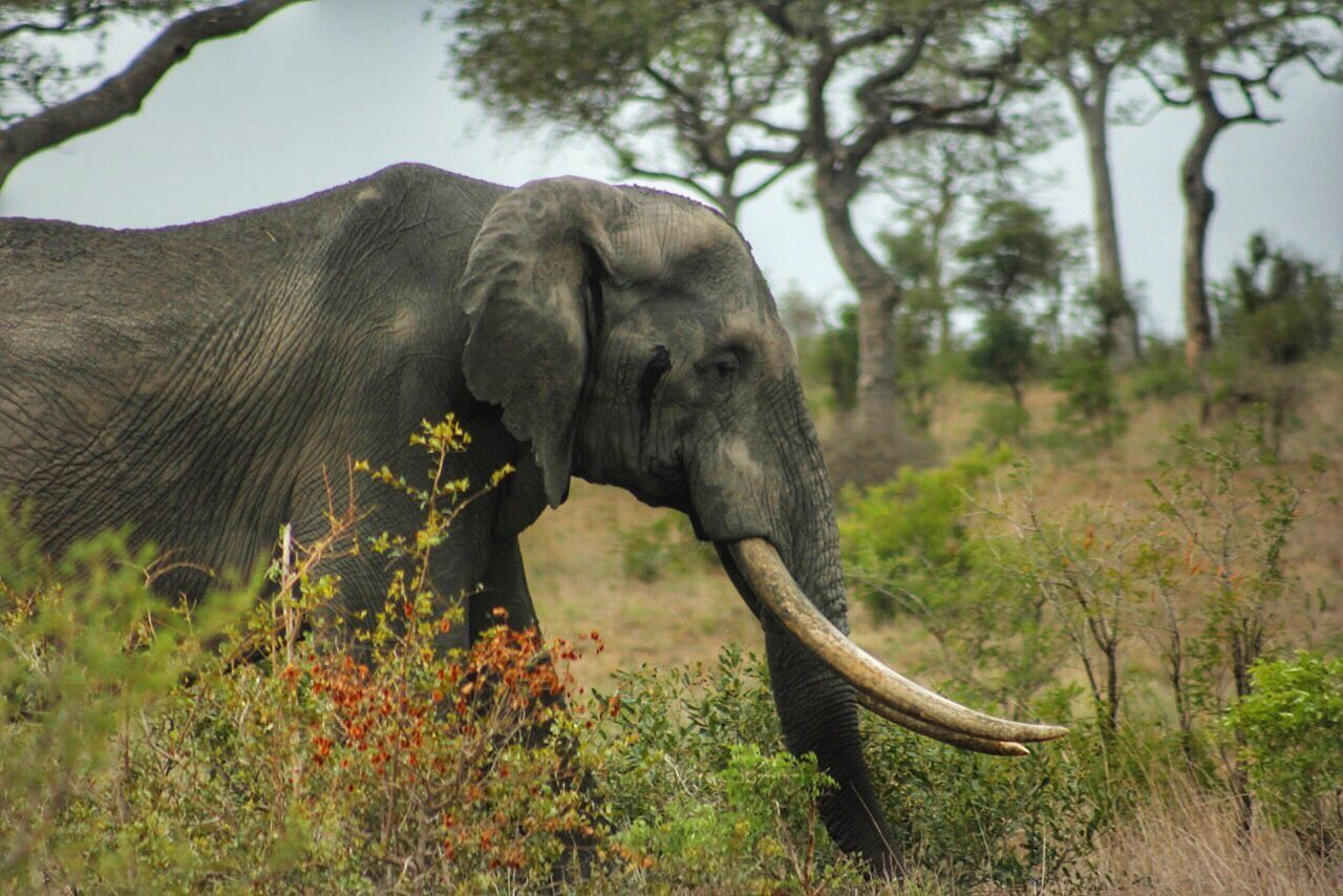 Beautiful stock photos of elefant, Animal Themes, Day, Elephant, Grass