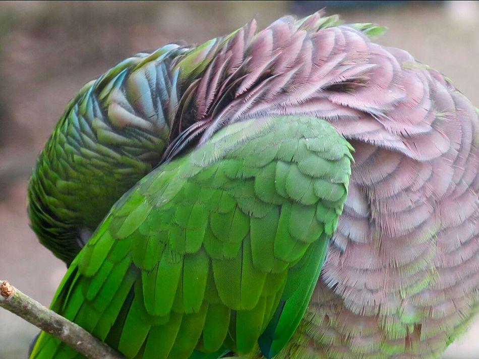Sleeping Bird Birds_collection Bird Photography Parrot Lover Birds Lover Birdwatching Amazon Parrot Parrot
