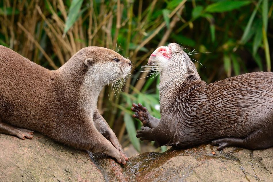 Animal Themes Animal Wildlife Animals Animals In The Wild Animals In The Wild Check This Out Close-up Cute Day Eye4photography  EyeEm Best Shots EyeEm Gallery EyeEm Nature Lover Mammal Nature Nature Photography Nature_collection No People Otter Otters Outdoors Taking Photos Togetherness Two Animals Wildlife
