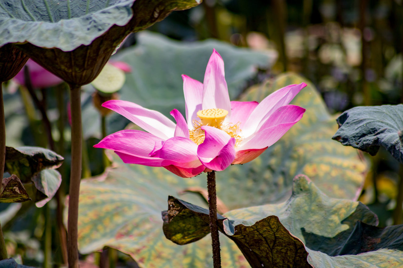 Lotus flower near a paddy field at Perak, Malaysia Beauty In Nature Close-up Day Flower Flower Head Focus On Foreground Fragility Freshness Growth ISO Isolated Lotus Nature No People Outdoors Petal Pink Color Water Water Lily