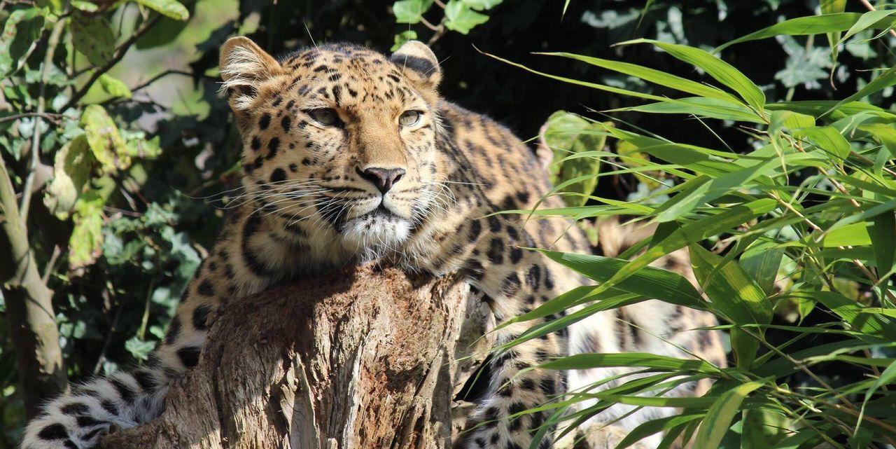 Beautiful stock photos of leopard, Animal Body Part, Animal Head, Animals In The Wild, Cheetah