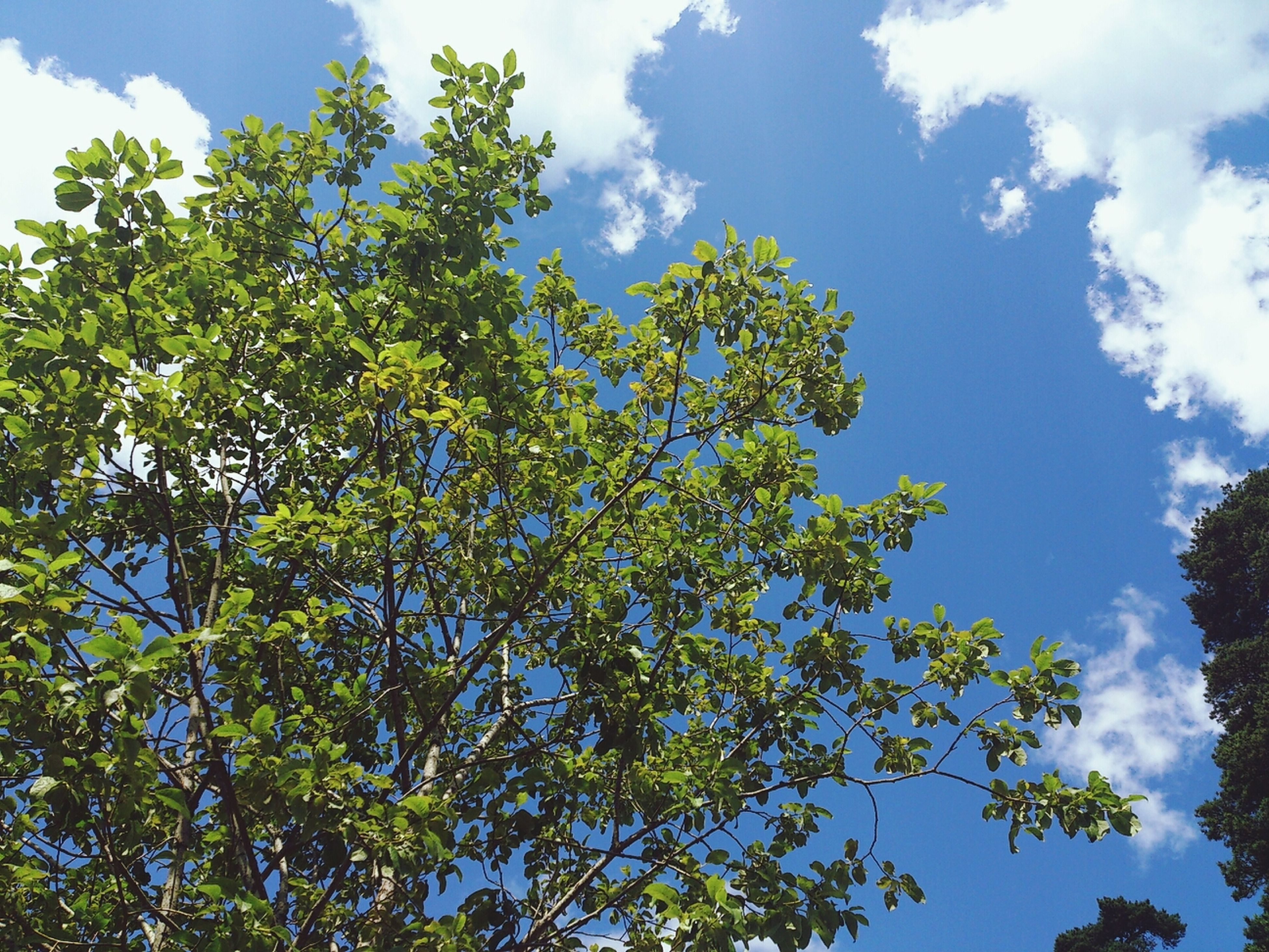 low angle view, tree, sky, growth, branch, blue, green color, nature, tranquility, beauty in nature, cloud, day, cloud - sky, leaf, no people, outdoors, sunlight, green, lush foliage, high section