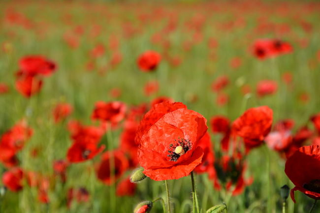 Nature's Diversities poppies poppy flowers red green colors grass field nature beauty landscape plants spring Fine Art Photography Colour Of Life