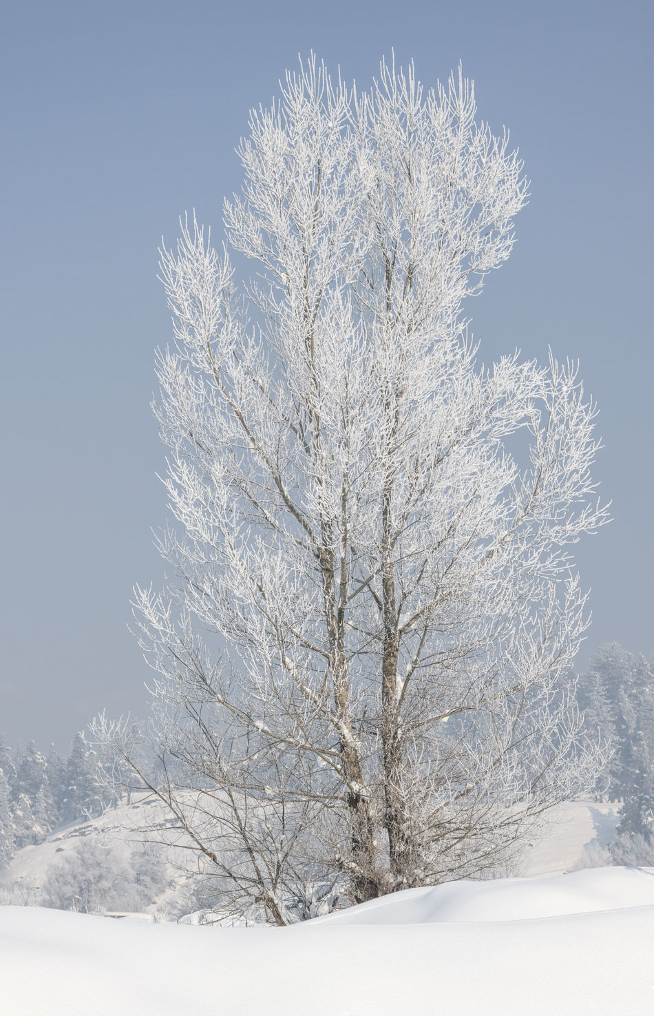 Tree covered with hoarfrost and snow in winter on forest background Branch Close-up Cold Temperature Cover Day Frost Frosty Landscape Landscape_Collection Nature No People Outdoors Panarama Scenics Seasoned Snow Snowing Tree Winter