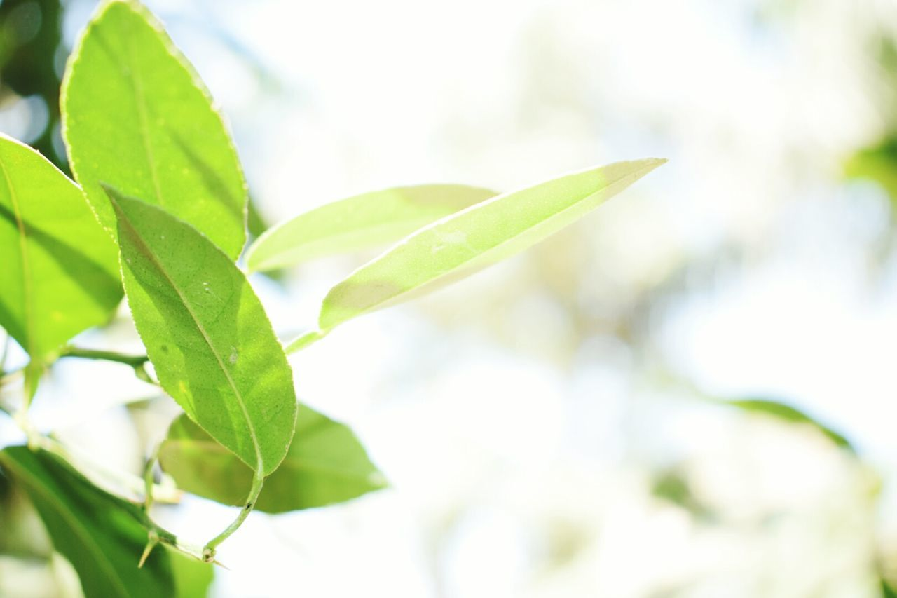 leaf, green color, growth, nature, plant, close-up, day, no people, freshness, outdoors, branch, beauty in nature