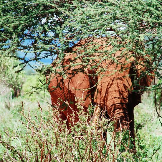 Kenia & Africa Animal & Animal Elefant Hide And Seek Behindthescenes Africanbeauty Kenia Animals In The Wild Capture The Moment Greenery Wildlife Hideandseek African Wildlife Wildlife & Nature Wildlife Photography NEM Still Life Animals Still Life Nature My Eyes My Nature Landscapes