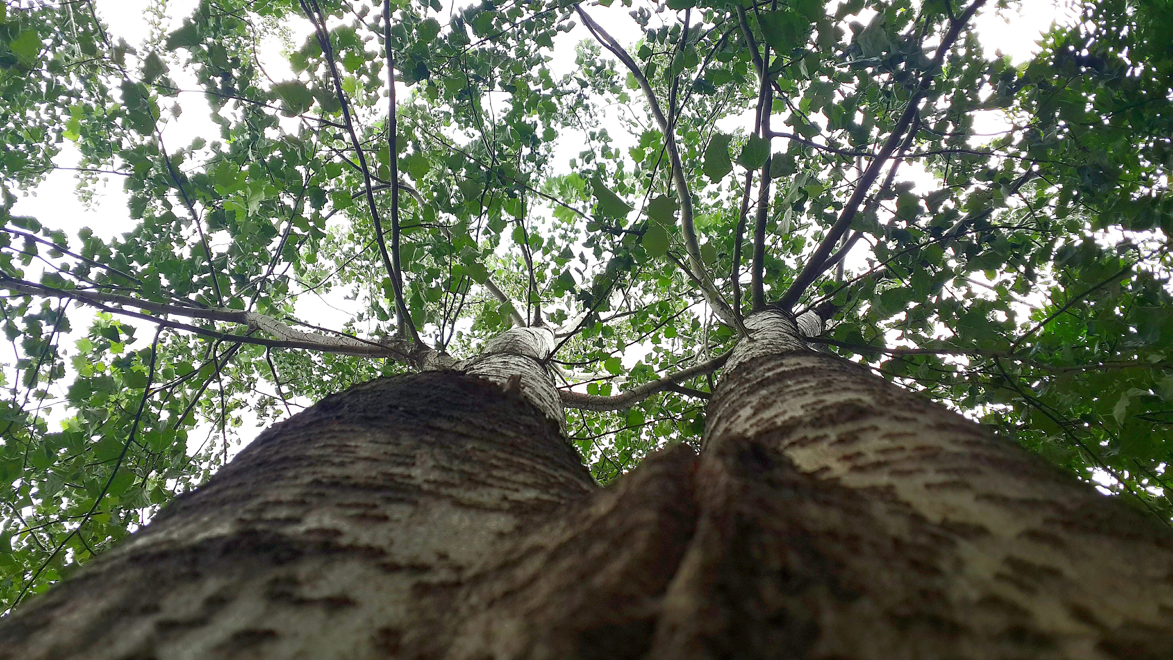 tree, low angle view, growth, branch, tree trunk, nature, green color, tranquility, beauty in nature, forest, leaf, sky, day, outdoors, no people, lush foliage, sunlight, green, tranquil scene, scenics