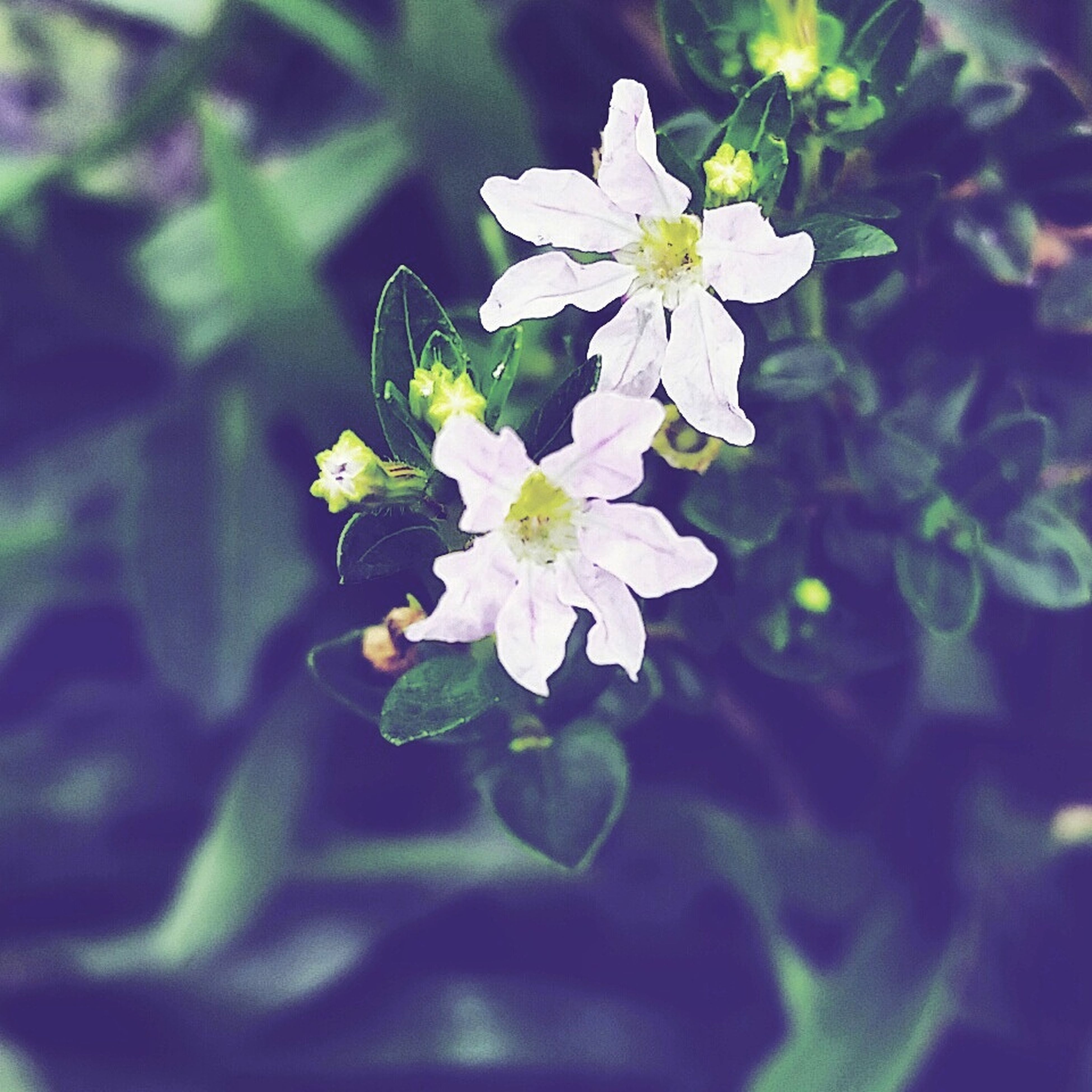 flower, freshness, fragility, growth, petal, beauty in nature, flower head, close-up, nature, blooming, focus on foreground, plant, white color, leaf, in bloom, selective focus, blossom, outdoors, day, springtime
