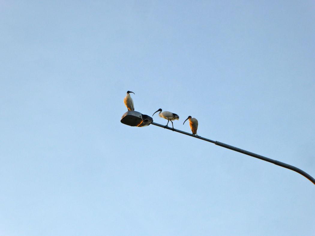 Animal Themes Animal Wildlife Animals In The Wild Australian Ibis Bird Clear Sky Perching Sky Three Ibis´s On Lamppost