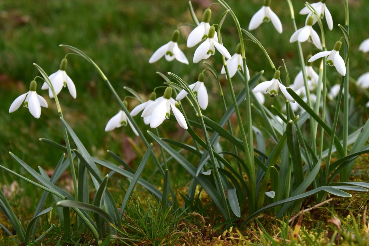 White Color Growth Nature Flower Freshness Field Petal Plant Snowdrop Blooming Fragility Beauty In Nature Green Color Grass Day No People Close-up Outdoors Flower Head Snowdrops Nature Photography Holland Dutch Landscapes Dutch Countyside