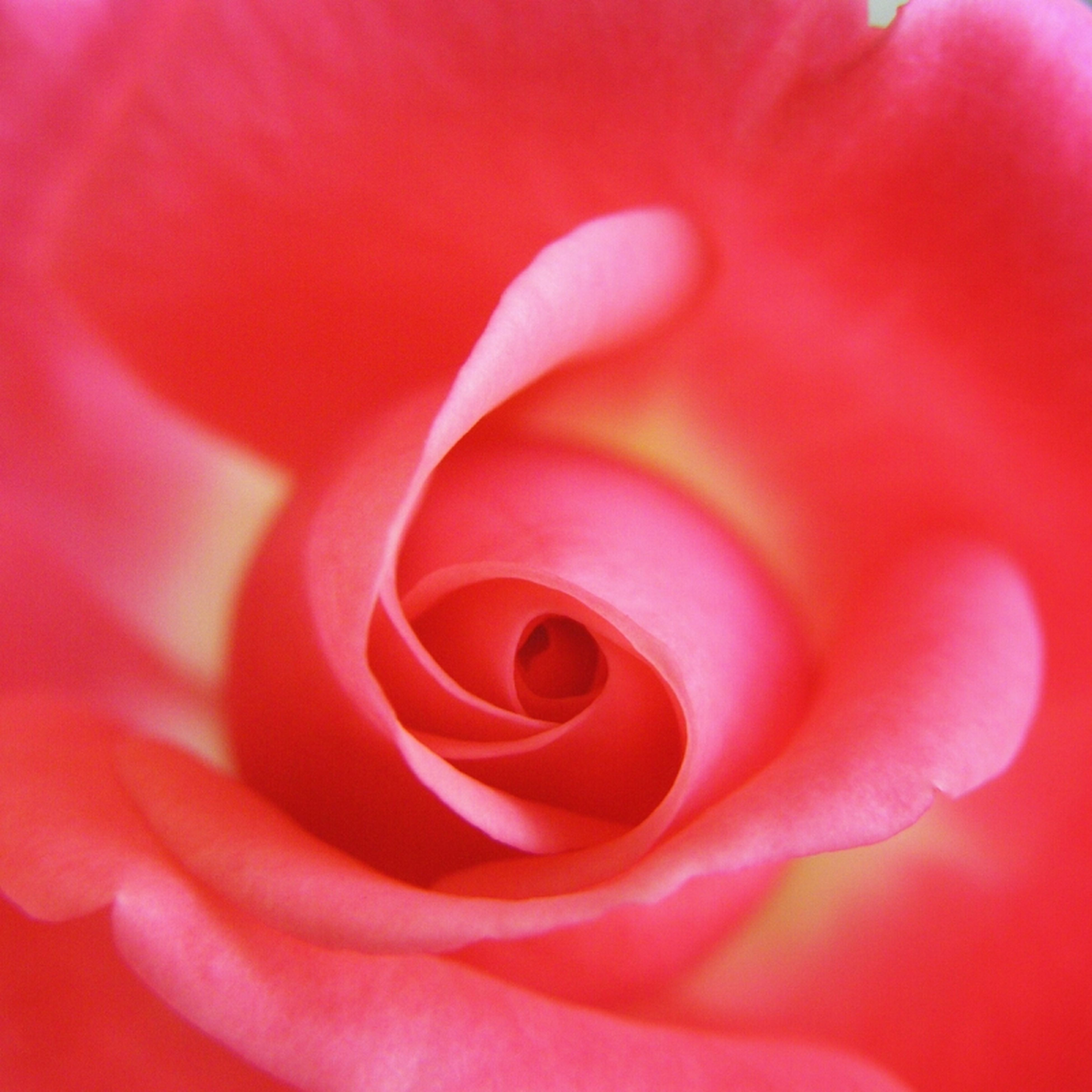 flower, petal, flower head, freshness, fragility, beauty in nature, single flower, full frame, growth, backgrounds, close-up, red, nature, pink color, rose - flower, natural pattern, blooming, macro, extreme close-up, in bloom