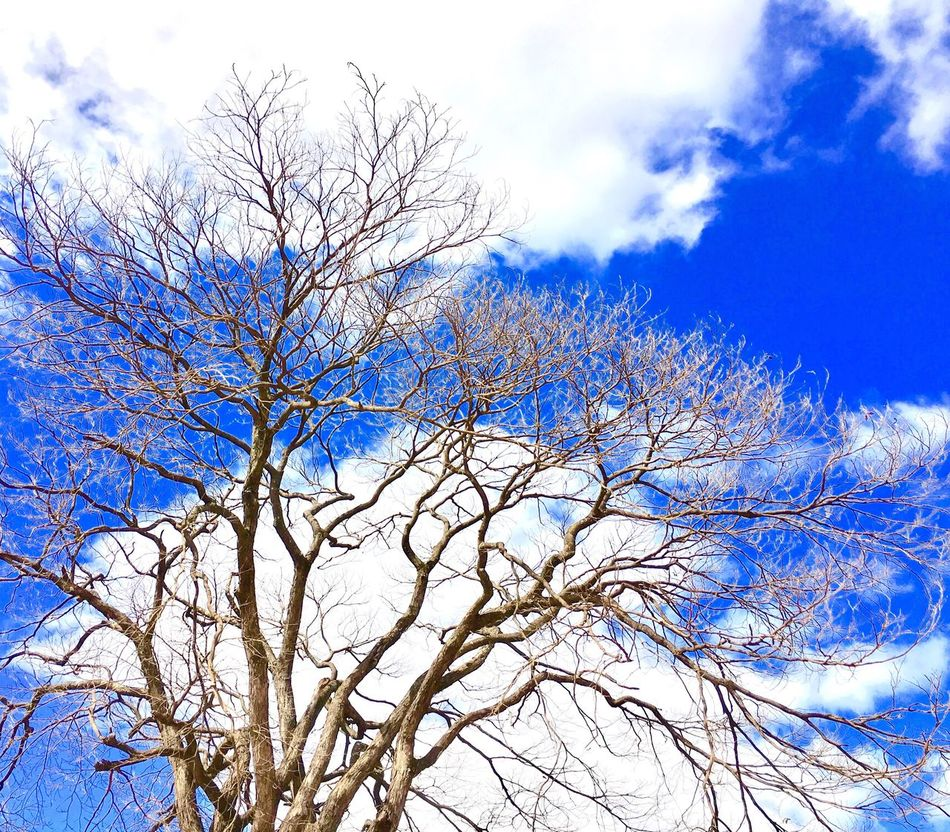 Bare Tree Sky Low Angle View Branch Tree Beauty In Nature Blue Nature Cloud - Sky Outdoors Growth Tranquility Day No People Scenics Exceptional Photography Best Photos EyeEm Best Shots First Eyeem Photo Popular Photos