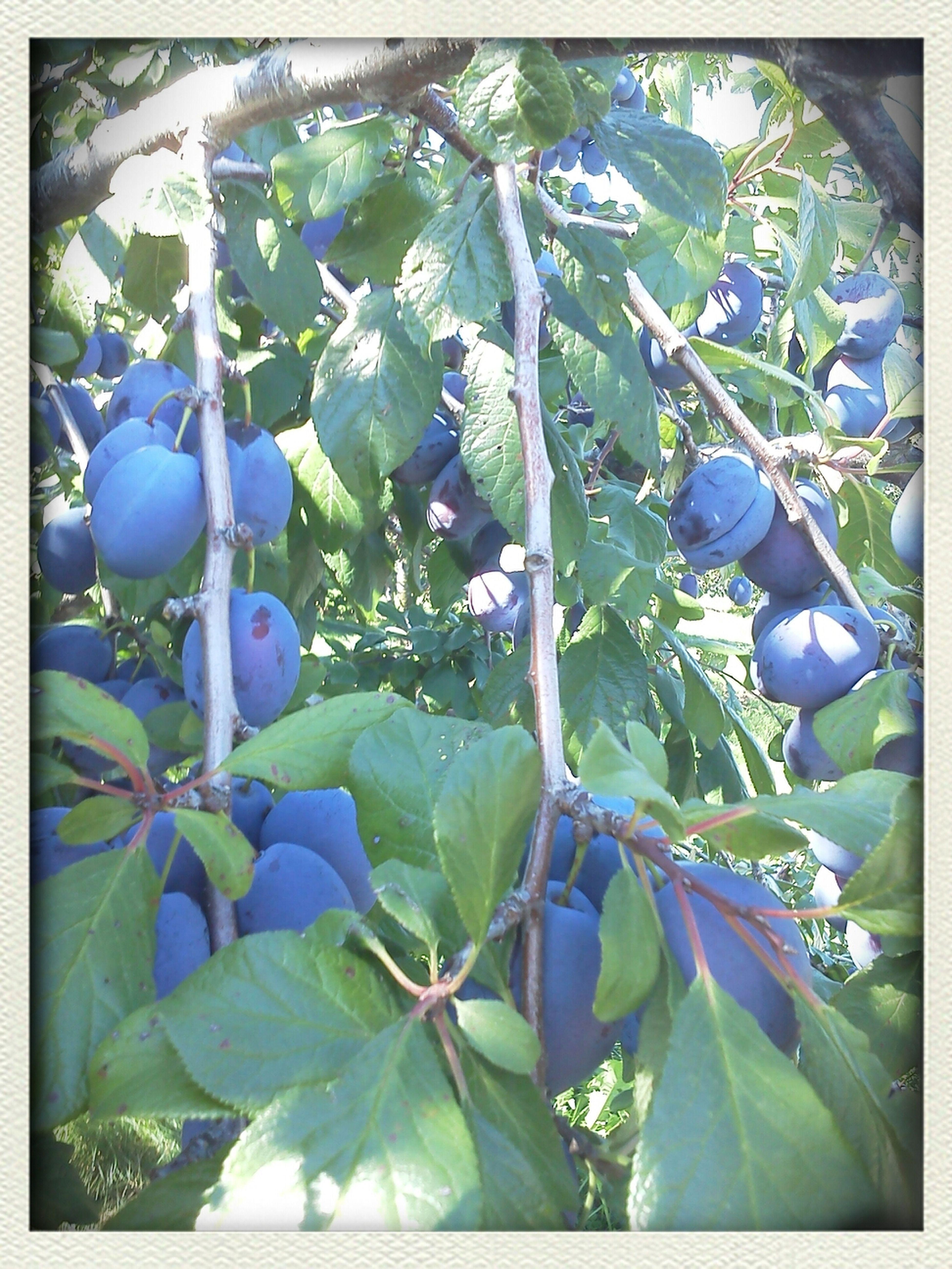 plums <3 Plums plums