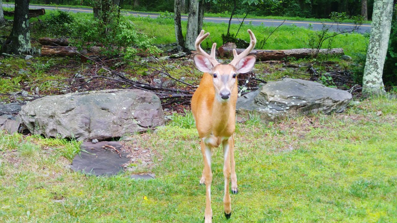 Animal Themes Antler Mammal Stag One Animal Standing Animals In The Wild Deer No People Nature Outdoors Day