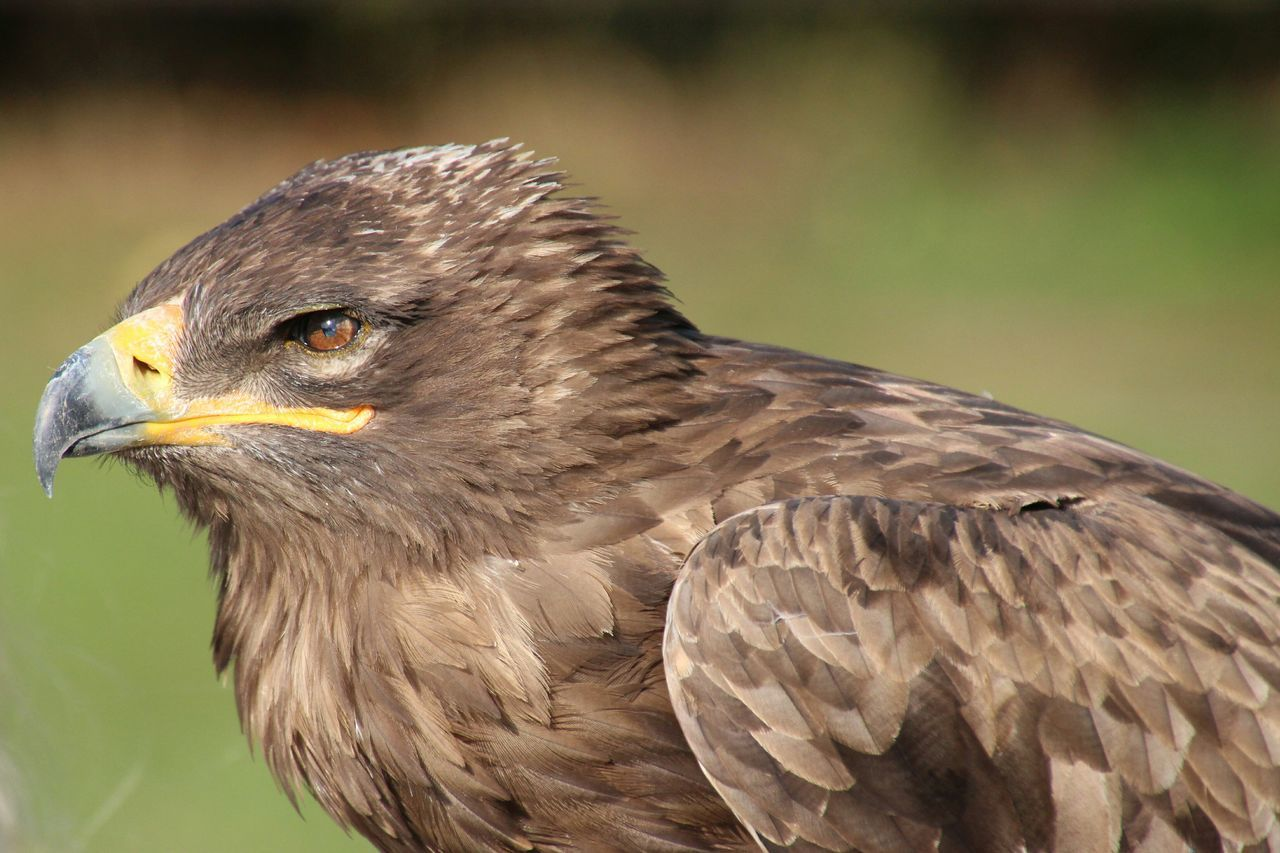 bird, animals in the wild, animal themes, one animal, bird of prey, close-up, focus on foreground, animal wildlife, day, no people, beak, outdoors, nature, beauty in nature