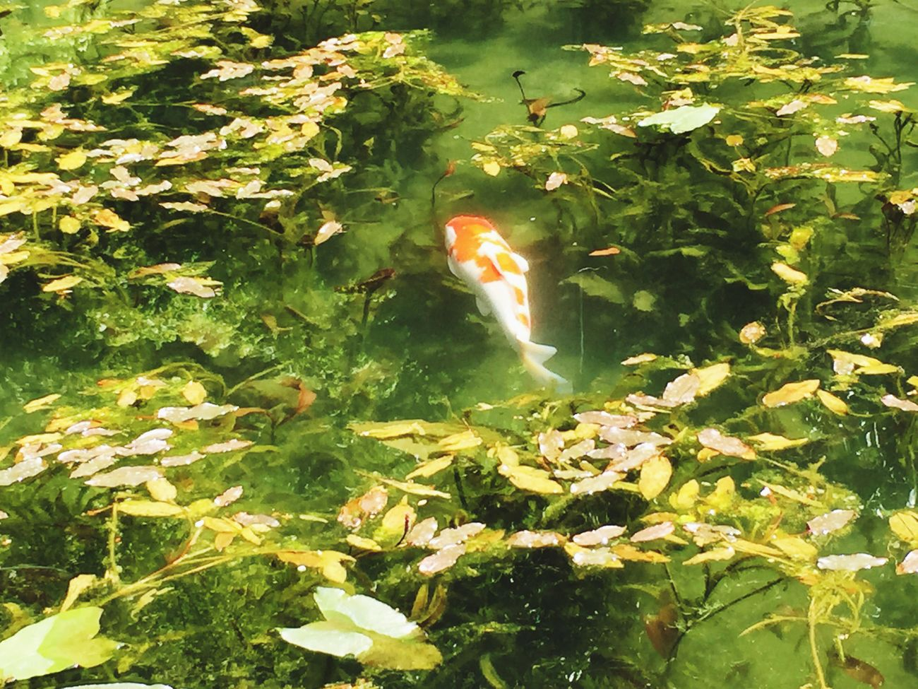 Pond Carp Spring Beautiful Pond Green Color