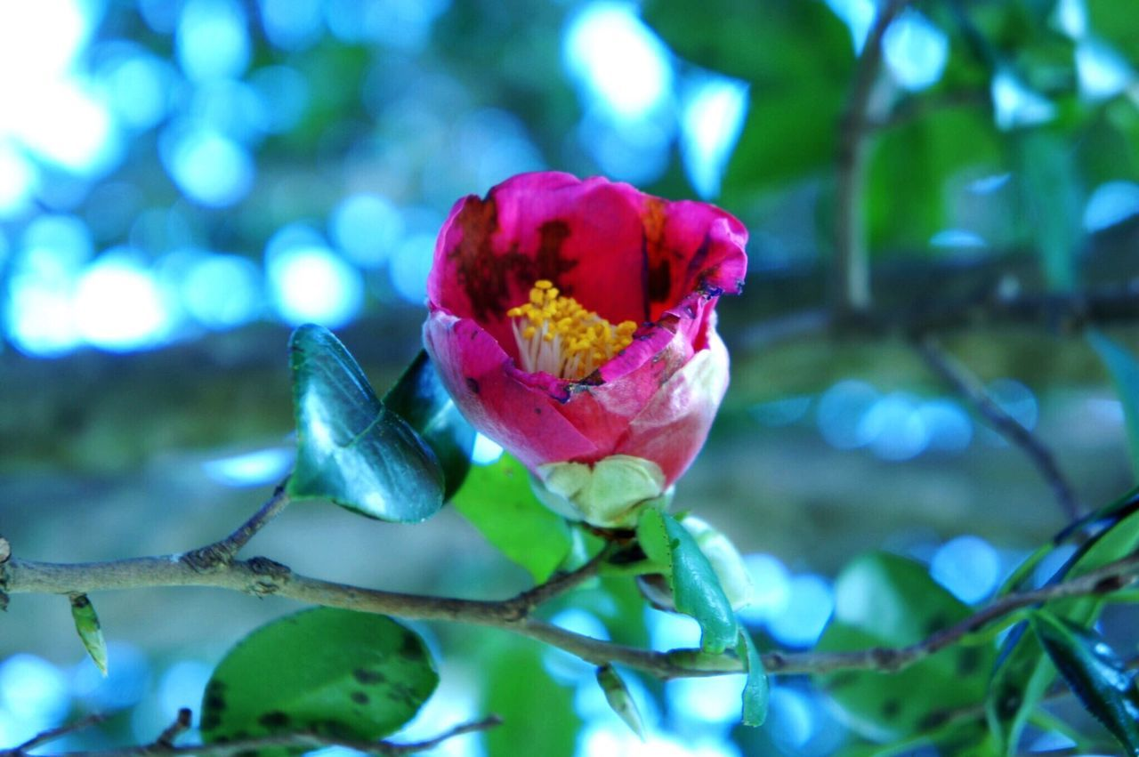 Flower Nature Beauty In Nature Growth Freshness Fragility Petal Plant Camellia Blooming No People Flower Head Leaf Day Outdoors
