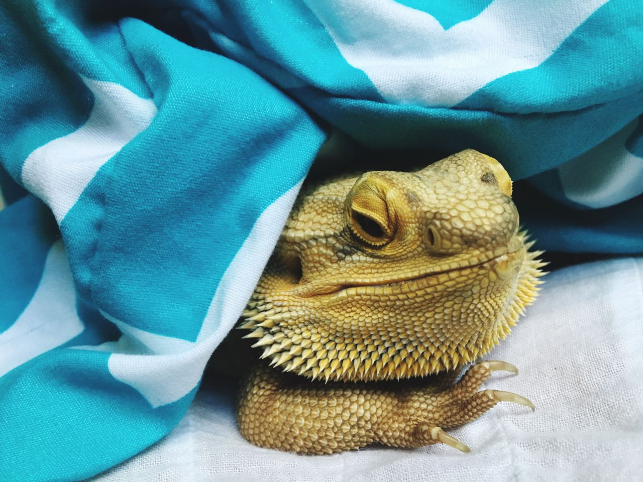 EyeEm Selects Bearded Dragon Waking Up Reptile Close-up One Animal Animal Themes No People Indoors  Fabric