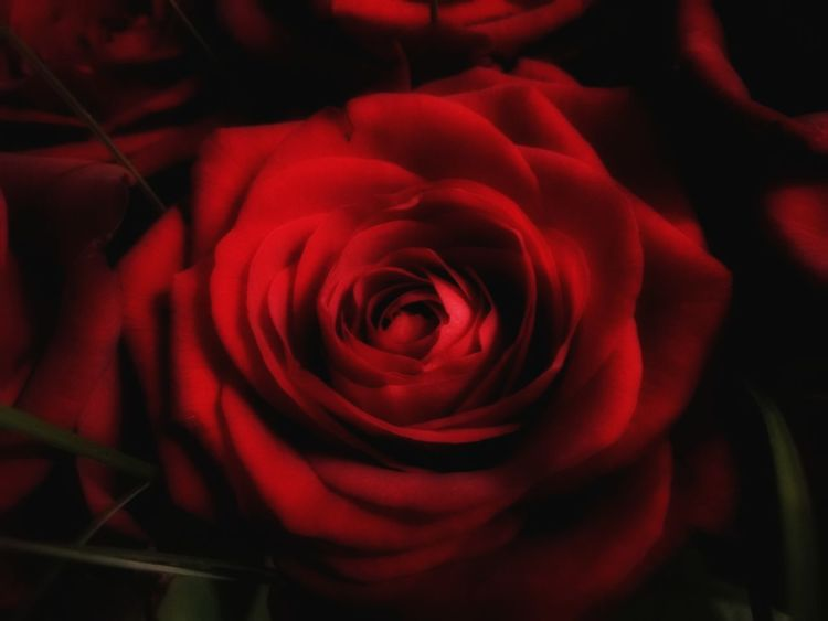 Red rose Rose Head Red Rose Dolefulness Sadness Sorrow Flower Rose - Flower Petal Nature Red Flower Head Fragility