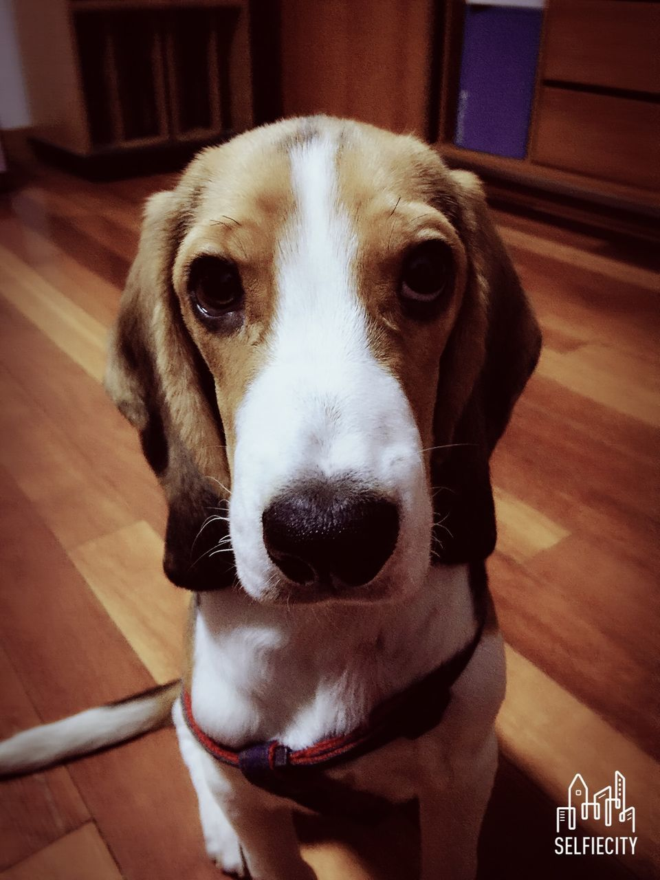 dog, pets, domestic animals, one animal, mammal, indoors, animal themes, looking at camera, portrait, close-up, home interior, no people, day, beagle
