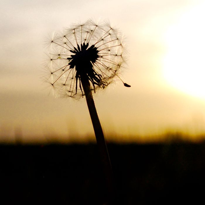 Dandelion Focus On Foreground Fragility Nature Selective Focus Sun Sunset The Beauty In Simplicity