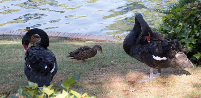 Animal Themes Bird Birds Birds Of EyeEm  Bird Photography Wildlife Animal Nature Day No People Selective Focus Animals In The Wild Black Color Swans ❤ Black Swans