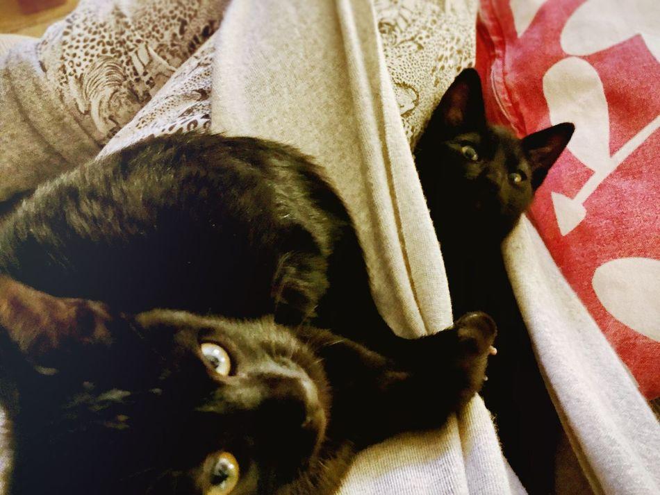Twins Demoncat Kitten BLackCat Hug