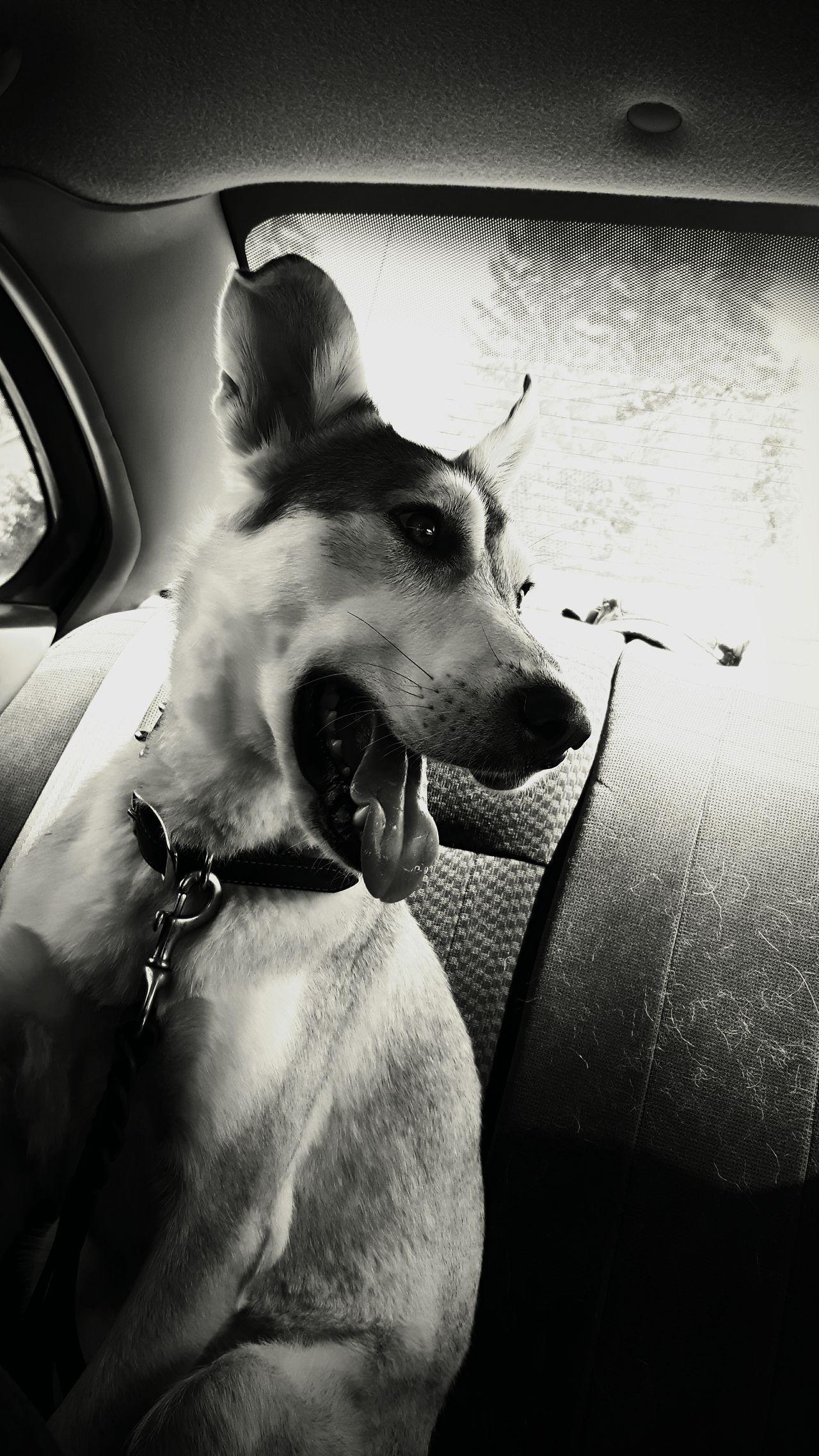 CarRides Pets Dog Doglover Dogslife Innocence Sweetheart Sweety  Happy Lovehim Black & White