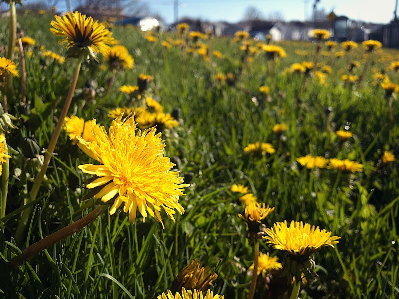Flower Yellow Nature Growth Petal Plant Freshness Fragility Flower Head Beauty In Nature Blooming Field No People Focus On Foreground Day Green Color Sunflower Outdoors Cosmos Flower Close-up