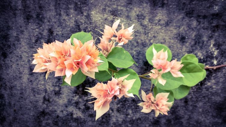 Bougainvillea Flower Petal Fragility Growth Freshness Beauty In Nature Blooming Flower Head No People Pink Color Close-up