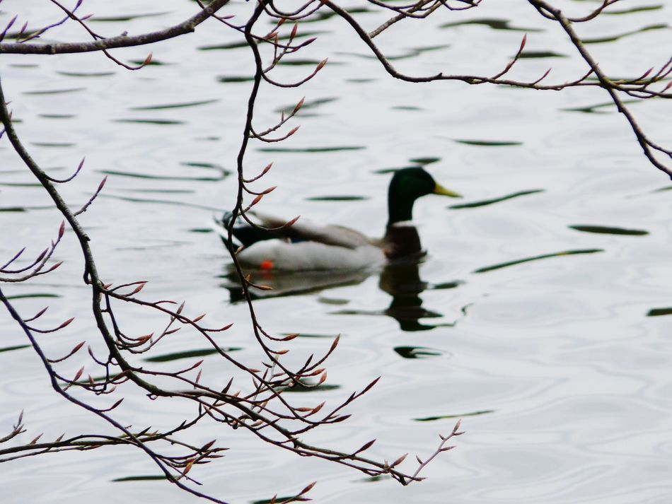 Nature On Your Doorstep Yeah Springtime! New Shoots🌱 Nature Duck In Background Branches Showcase April