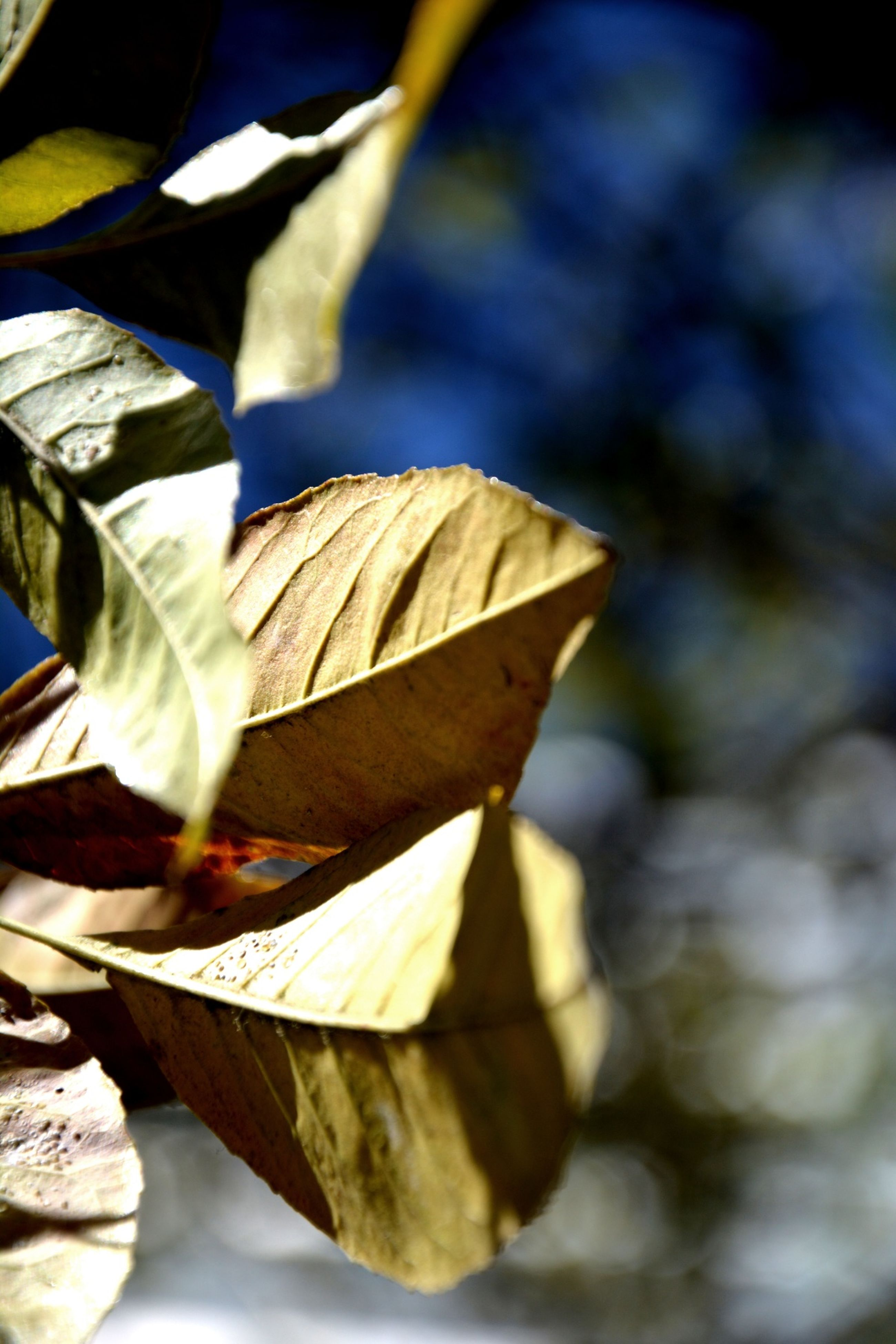 leaf, close-up, leaf vein, focus on foreground, dry, autumn, leaves, season, natural pattern, nature, yellow, fragility, selective focus, change, day, sunlight, outdoors, no people, maple leaf, part of