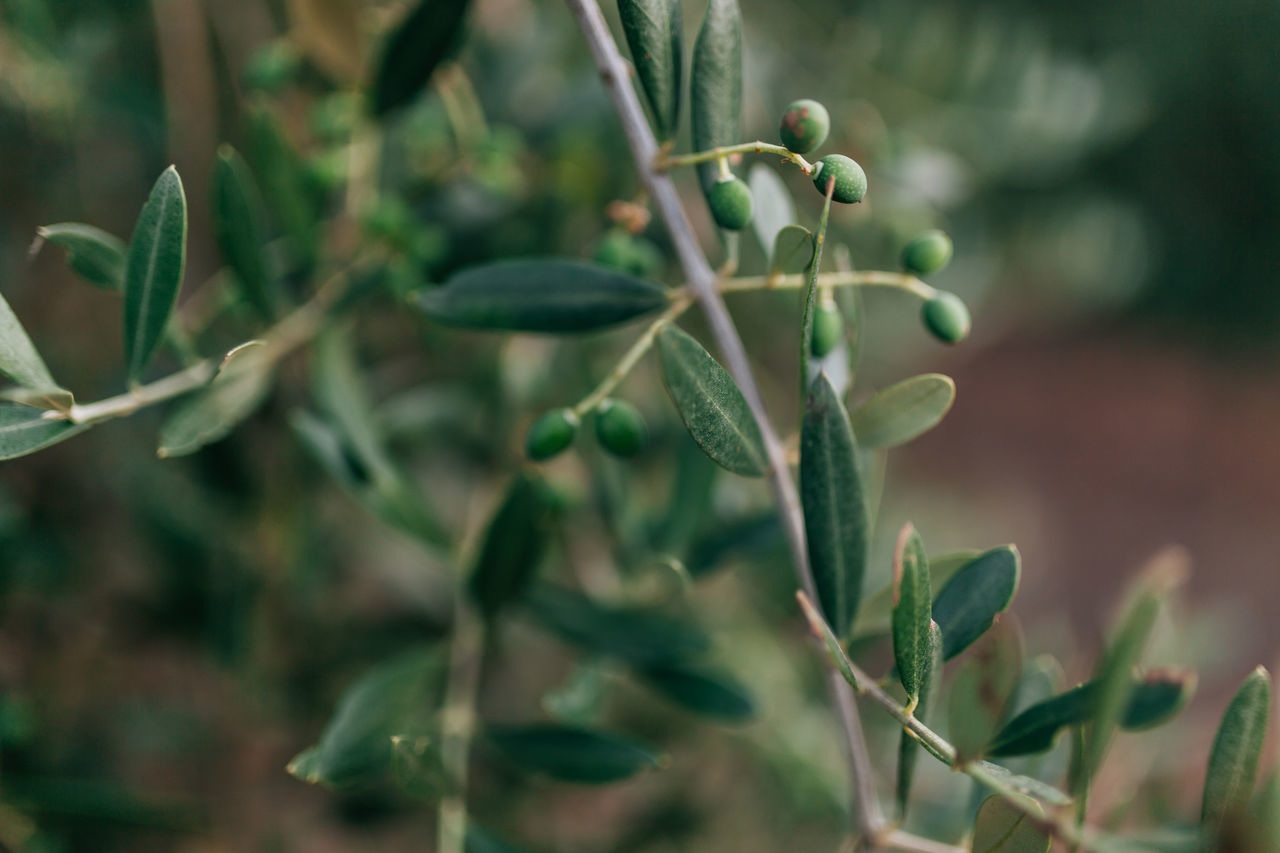 Alentejo Beauty In Nature Close-up Day Fragility Freshness Growth Leaf Mediterranean  Mediterranean Food Nature No People Olive Olive Oil Olive Tree Olive Trees Olives Outdoors Plant Portugal