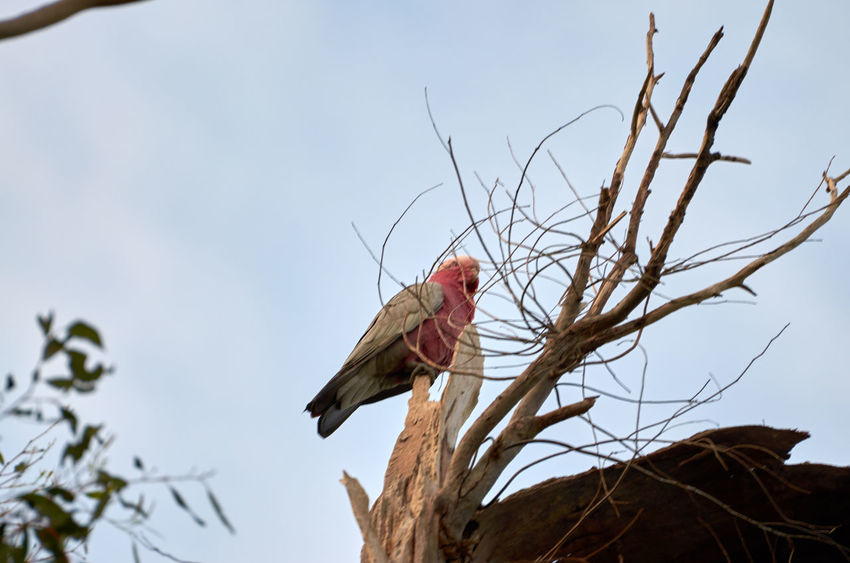 Animal Head  Animal Themes Animals In The Wild Australian Birds Avian Beak Beauty In Nature Bird Branch Focus On Foreground Galah Low Angle View Nature No People One Animal Perching Red Sky Wildlife Zoology