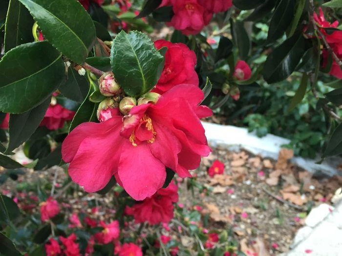Rosé Flower Flower Collection Flowers,Plants & Garden Nature Nature Photography Nature_collection Macro Macro Photography Macro_collection