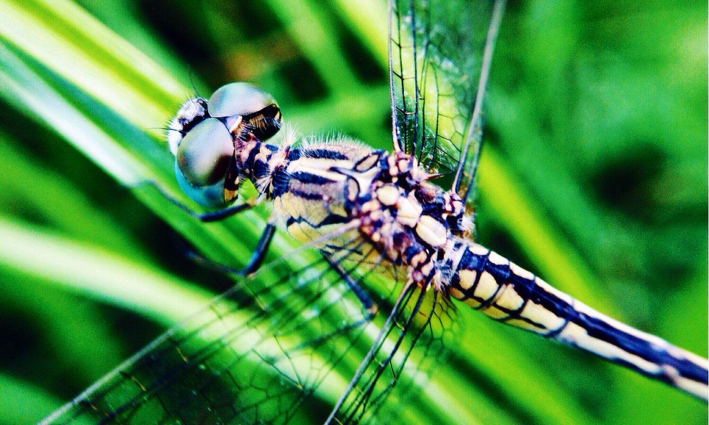 Lumilipad na dragon EyeemPhilippines Vscocam Macrophotography Insect Photography