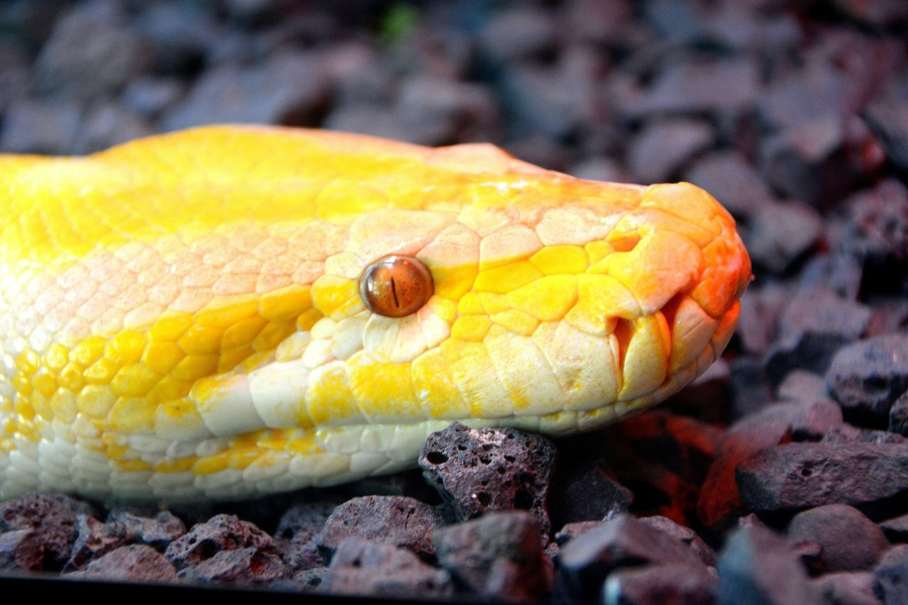 one animal, animal themes, animals in the wild, animal wildlife, close-up, reptile, yellow, nature, no people, day, animal head, outdoors, animal scale, focus on foreground, beauty in nature