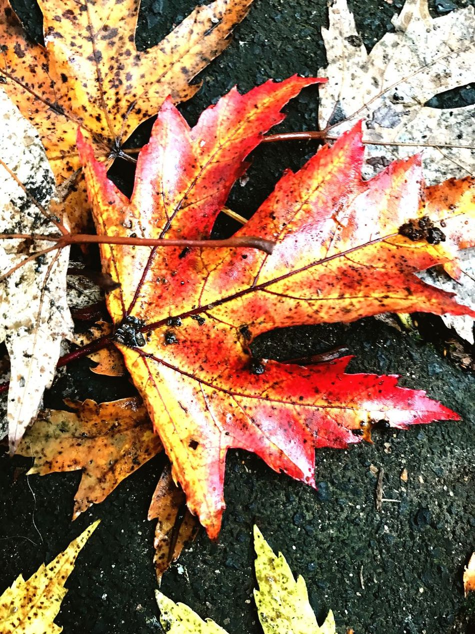 Autumn Leaf Leaves Close-up Nature Maple Leaf Beauty In Nature Maple Outdoors